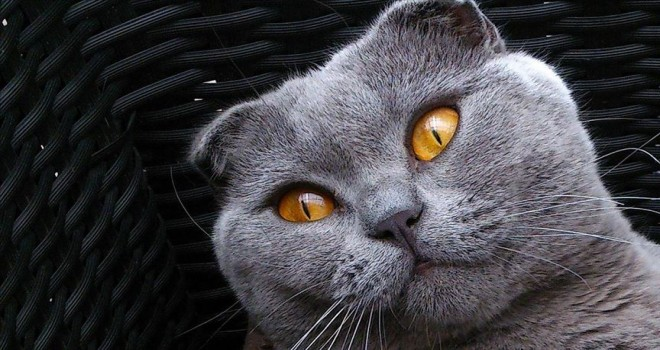 Brüksel'de bazı kedi cinslerinin yetiştirilmesi yasaklandı